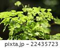 アジアンタム ホウライシダ科 ホウライシダ属の写真 22435723