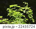 アジアンタム ホウライシダ科 ホウライシダ属の写真 22435724