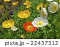 アイスランドポピー 花 ポピーの写真 22437312