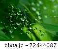 緑の初夏の雨後。蜘蛛の巣に水滴が・・・ 22444087