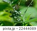 緑の初夏の雨後。蜘蛛の巣に水滴が・・・ 22444089