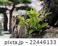 松から生える芽 22446133