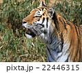 肉食動物 動物 アムールトラの写真 22446315