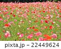 ポピー 花 花壇の写真 22449624