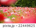 ポピー 花 花壇の写真 22449625