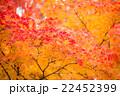 紅葉の輝き Leaves are aflame with autumn color  22452399