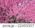 pink flower on tree branches blossoms in a garden 22453357