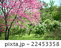 pink flower on tree branches blossoms in a garden 22453358