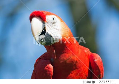 Scarlet Macaw (Ara macao) 22455111