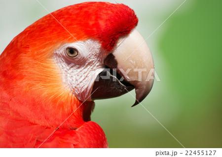 Scarlet Macaw (Ara macao) 22455127