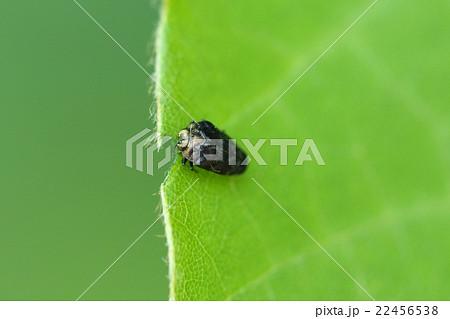 生き物 昆虫 クズノチビタマムシ、特徴的な食痕を残してクズの葉を食べています 22456538