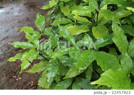 雨後の葉っぱ 22457923