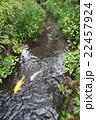 小川で泳ぐ金色の鯉 22457924