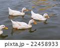 カモ 鴨 湖の写真 22458933