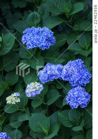 西洋紫陽花 ババリア 花言葉は「元気な女性」 22462936