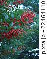 アメリカデイゴ デイゴ 花の写真 22464110