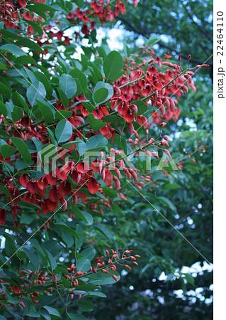 夏の花アメリカデイゴ 花言葉は「夢」 22464110