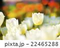 白いチューリップ 22465288
