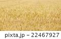 麦畑 麦 畑の写真 22467927
