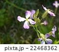 野生化した大根だと言うハマダイコンの花 22468362