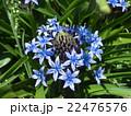 青い花シラーベルビアナ 22476576