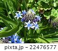 青い花シラーベルビアナ 22476577