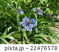 青い花シラーベルビアナ 22476578