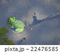 カエル 両生類 沼の写真 22476585
