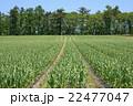 にんにく畑 5月 22477047