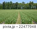 にんにく畑 5月 22477048