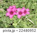 紫色の花はイモカタバミの花 22480952