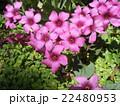 紫色の花はイモカタバミの花 22480953