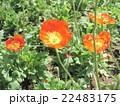 ヒナゲシのオレンジ色の花 22483175