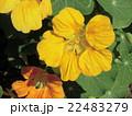 この黄色い花はナスタシウム 22483279