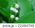鈴蘭の花 22484748