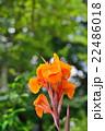 カンナ 花 開花の写真 22486018