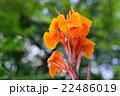 カンナ 花 開花の写真 22486019