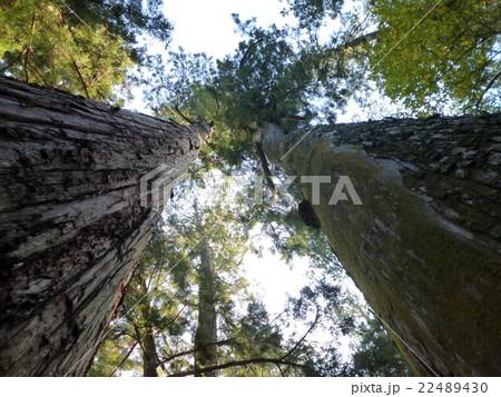 伊勢神宮の樹木 22489430