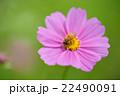 ミツバチ コスモス 花の写真 22490091