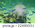 鳥羽水族館のジュゴン 22490331