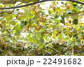 栽培中のキウイフルーツ 22491682