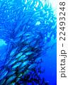 ギンガメアジの群れ 22493248