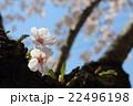 満開の桜 22496198