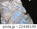 桜の木を見上げる 22496199