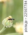 クロオオアリ(働きアリ) 22507784
