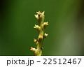 自然 植物 スダジイ、咲いた(?)ばかりのフレッシュな雌花。柱頭が艶々ピカピカです 22512467