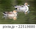 鳥類 鳥 カモの写真 22519880