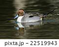 鳥類 鳥 カモの写真 22519943