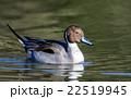 鳥類 鳥 カモの写真 22519945