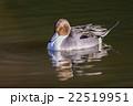 鳥類 鳥 カモの写真 22519951